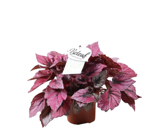 Begonia Indian Summer