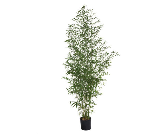 Bamboo Dorato 200h