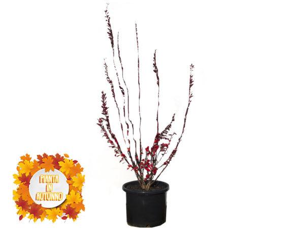Berberis Rosso Redrocket 40h