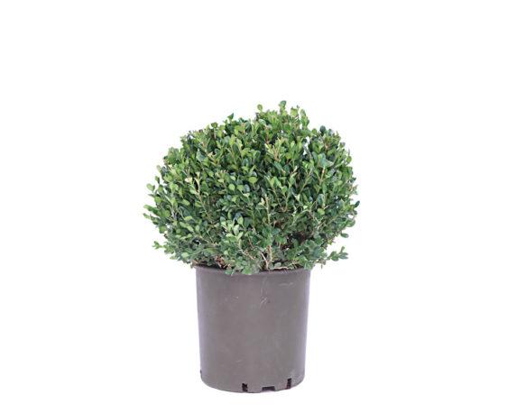 Buxus Microphylla Faulkner Sfera
