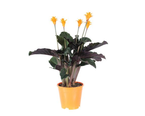 Calathea Crocata Tassmania H40