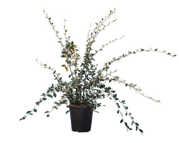 Cotoneaster Lacteus H40/60