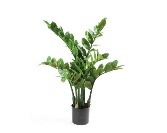 Zamioculcas Zamiifolia H60