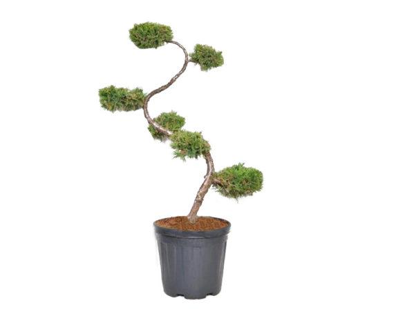Juniperus Media Old Gold Bonsai H100/125