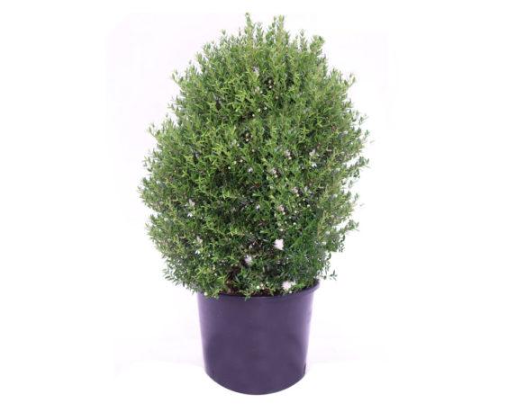 Mirto Comune Microphylla