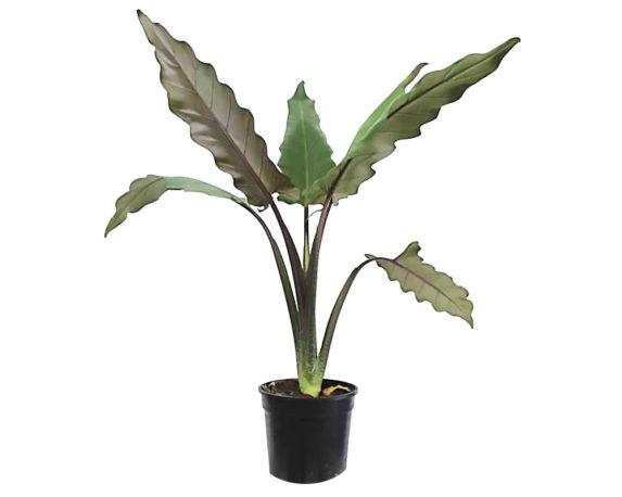 Alocasia Lauterbachiana H70