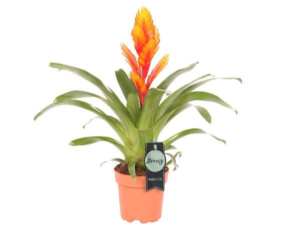 Bromelia Vriesea