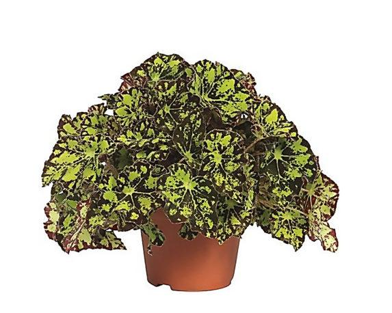 Begonia Rex Rondeau