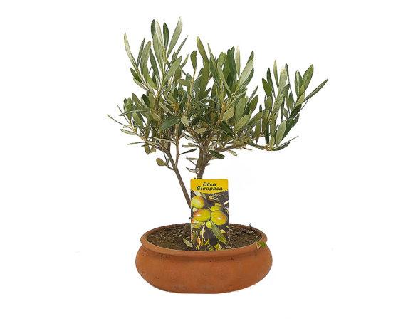 Olea Pre-bonsai