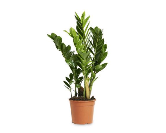 Zamioculcas Zamiifolia H42