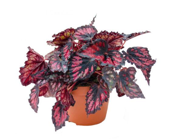 Begonia Magic Colours Etna