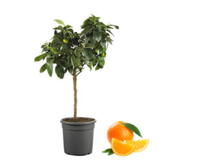 arancio citrus sinesis vaso 20