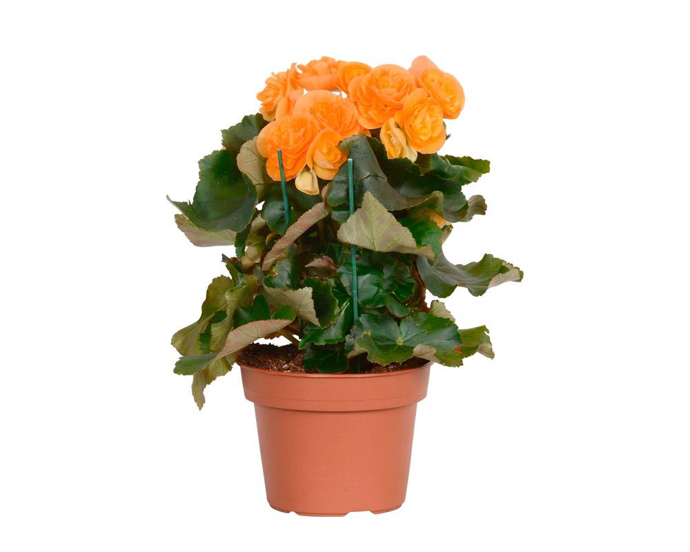BEGONIA ELATIOR ADONIA LIGHT FIORE DOPPIO H31 V14 arancione