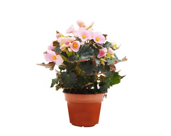 Begonia Elatior Rebecca H32
