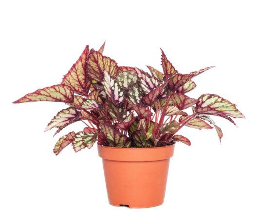 Begonia Magic Colours Spitfire H25